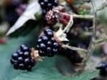 9489346-harvesting-ripe-blackberries-in-a-sunny-garden